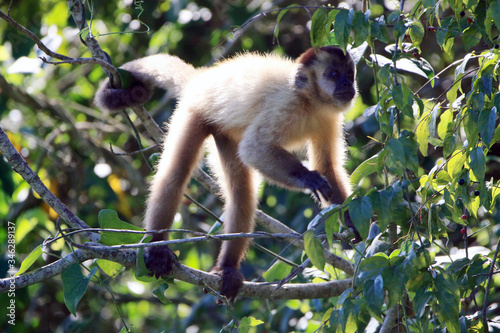 photo of a Capuchin monkey in the middle of the forest in the Brazilian Pantanal Canvas Print