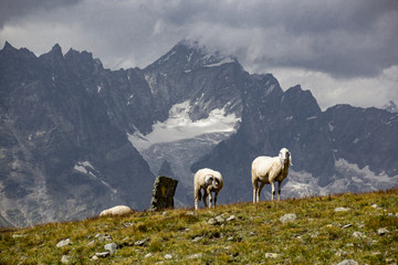 Gregge nei pascolo alpino
