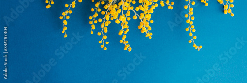 Fotografie, Obraz branch of blooming mimosa on a blue background, copy space, long banner