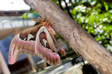 Attacus Atlas, The Atlas Moth, Is A Large Saturniid Moth Endemic To The Forests Of Asia.