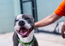 An Eye Level, Partial View Of A Grey And White Pit Bull Terrier Mixed Breed Dog Looking Forward With A Person, Who Is Also Partially In View, With Their Hand On The Dog's Back
