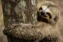 Close-up Of Three-toed Sloth O...