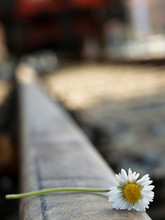 Close-up Of White Daisy On Railroad Track