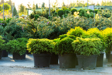 Bushes And Evergreen Plants In Tubs In The Open Air, Plants In The Garden Center