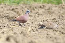 Red Turtle Dove Scientific Nam...