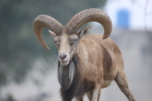 Punjab Urial The Big Horned Be...