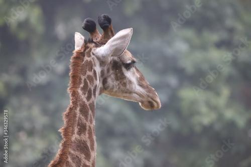 Photo Giraffe Scientific name Giraffa close up neck and face.