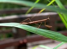Close-up Of Brown Praying Mantis On Grass