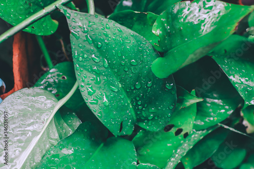 Fotografie, Obraz Green leaf with water drops on them,texture of droplets on green leaf after the rain