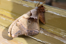 Close Up Of The Reddish Fluffy Body Of  A Giant Silk Moth With Its Wings Closed, Viewed From A Side View Angle. Moth Resting On A Weathered Window Sill In An Urban Environment