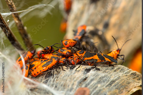 Milkweed beetles on a seed pod in Vernon, Connecticut. Fototapet