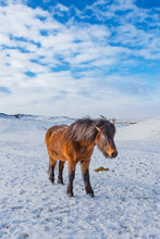 Native Iceland Horses With Thi...