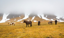 Small Herd Of Icelandic Horses...