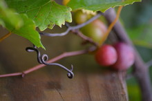 Close-up Of Ripe Grapes And Leaves In Vineyard