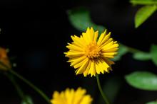 Bright Yellow Field Marigold Flower