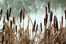 Close-up Of Cattails Growing O...
