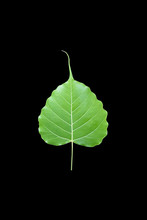 Isolated Ficus Religiosa Or Sacred Fig Leaf With Clipping Paths