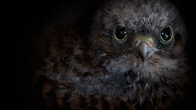 Close-up Portrait Of Owl Against Black Background
