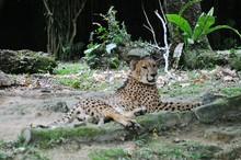 Cheetah Resting On Field