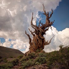 Twisted Dead Tree Against Cloudy Sky