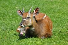Sitatunga Or Marshbuck (Tragelaphus Spekii) Is Swamp-dwelling Antelope From Central Africa