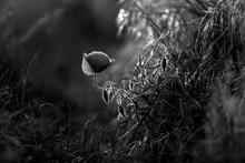 Poppy In The Field At Dawn  Black & White