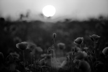 Poppy In The Field At Dawn  Bl...