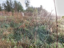 Spider Web On The Bushes
