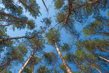 Pine Trees Bottom View, Pine L...