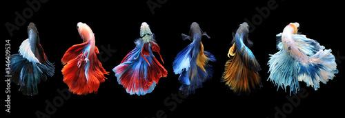 Fotografiet Betta fish, siamese fighting fish, betta splendens isolated on black background,