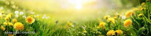 Fotografia Beautiful summer natural background with yellow dandelion flowers in grass against of dawn morning