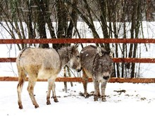 Donkeys Standing On Field During Winter