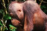 Fototapeta Zwierzęta - Portret orangutana