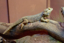 Close-up Of Bearded Dragon On ...