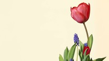 Spring Flower:Red Tulips And B...