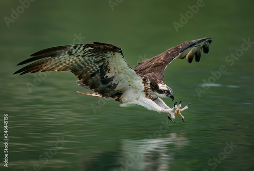 Fototapeta Amazing picture of an osprey or sea hawk hunting a fish from the water
