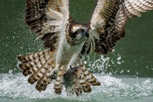 Amazing Picture Of An Osprey Or Sea Hawk Hunting A Fish From The Water