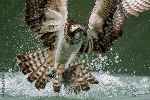 Obraz na plátne Amazing picture of an osprey or sea hawk hunting a fish from the water