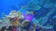 Sea anemone with clownfish