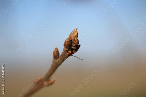 Valokuva Coccinella sopra ad un ramoscello di un fiore  con effetto sfocato nello sfondo,