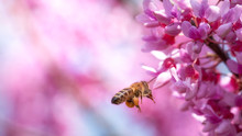 Bee On Small Pink Flowers Paul...