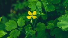 Celandine Folk Medicine Herbal.Pure Celandine Juice