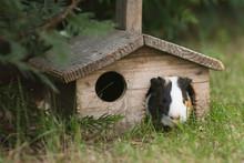 Guinea Pig House, Guinea Pig Is Feeding On Green Grass