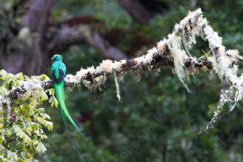 Fotomural Resplendent Quetzal Perching On Plant