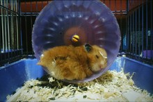 Hamster Sleeping In Cage
