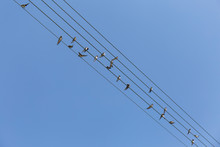 Group Of Small Birds On Electr...