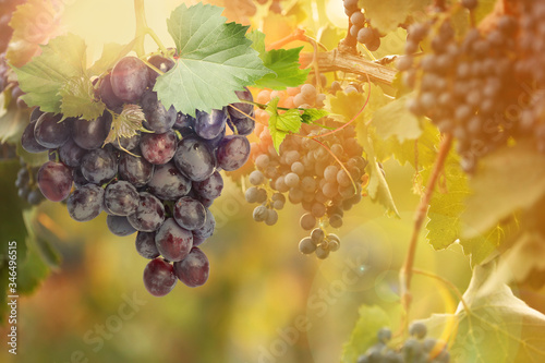 Foto Fresh ripe juicy grapes growing on branches in vineyard, space for text