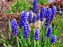 Blue Muscari Flowers Close Up. A Group Of Grape Hyacinth (Muscari Armeniacum) Blooming In The Spring. Closeup With Selective Focus.