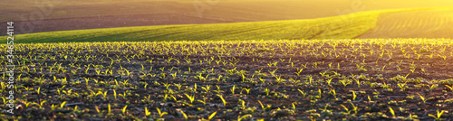 Photo corn seedlings on a large, agricultural field