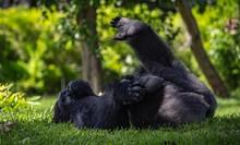 Gorilla Resting On Grassy Fiel...